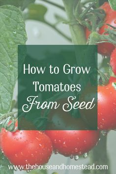 Learn how to grow tomatoes from seed with these step-by-step instructions and enjoy fresh or preserved homegrown tomatoes from your own garden all year long! Learn how to start tomato seeds, how to care for tomato seedlings, how to transplant tomatoes and how to get an abundant tomato harvest from your garden. #growtomatoes #tomatoesfromseed Tomato Seedlings, Tomato Seeds, Gardening For Beginners, Gardening Tips, New Vines, Grow Tomatoes, Bountiful Harvest, Victory Garden, Hobby Farms