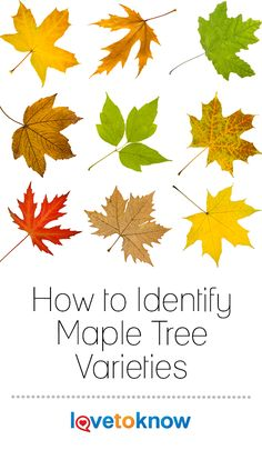 With over a hundred species and nearly as many subspecies, maple tree identification can be tricky. Add in the countless cultivars available and differing . Maple Trees Types, Maple Tree Varieties, Pine Tattoo, Tattoo Tree, Maple Tree Tattoos, Willow Tree Tattoos, Garden Trees, Trees To Plant, How To Identify Trees