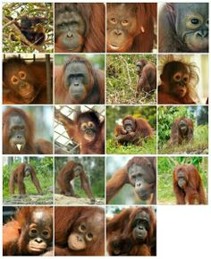 Hi orangutan friends! Soon Nyaru Menteng will release 20 orangutans to Bukit Batikap Conservation Forest. While counting down to D-day, let's meet the candidates of the 8th Nyaru Menteng Orangutan Release! > http://orangutan.or.id/nyaru-menteng-orangutan-release-candidate-profiles-february-7-8-2014/?lang=EN