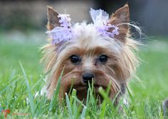 Merryweather is an adoptable Yorkshire Terrier Yorkie Dog in Chicago, IL. Merryweather is looking for a lap to call her own. �Her�and her siblings were recently surrendered by a backyard breeder. �Tho...