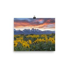 Photo paper poster with alpine sunflowers and Teton Mountain Range at sunset.