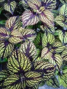 Easy To Grow Houseplants Clean the Air Coleus Fishnet Stockings Types Of Flowers, Types Of Plants, Shade Garden, Garden Plants, Gothic Garden, Full Sun Plants, Colorful Plants, Heuchera, Fishnet Stockings