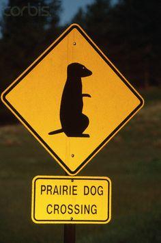prairie dog crossing #meerkats #prairiedog #animallovers #meekcatlovers #cute