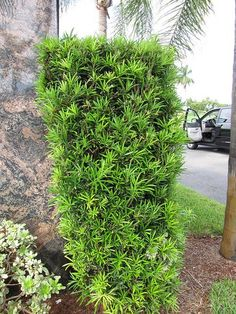 top 8 plants for landscaping with evergreen shrubs. Wonder which plants are low maintenance for your garden year round? Broadleaf Evergreen, Plants, Front Yard Plants, Shrubs, Live Plants, Landscape, Podocarpus Hedge, Japanese Yews, Backyard