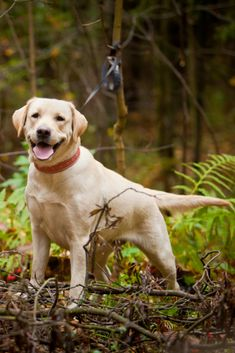 Labrador dog outdoors the autumn Golden Retriever Labrador, Labrador Retrievers, Golden Retrievers, Protective Dogs, Lab Puppies, Outdoor Dog, Belle Photo, Animal Photography, Dog Lovers