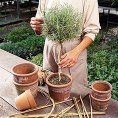 Make Your Own Topiary: Many types of plants are well-suited to shaping, including the herb rosemary shown here, as well as hollies, ivies, and boxwood. Container Gardening, Gardening Tips, Gardening Gloves, Organic Gardening, Decoration Plante, Summer Plants, My Secret Garden, Garden Plants, Flowering Plants