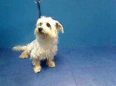 RTO - SAFE 11/7/13  Brooklyn Center   SUNNY - A0984275   NEUTERED MALE, WHITE, WEST HIGHLAND / MALTESE, 10 yrs  STRAY - ONHOLDHERE, HOLD FOR ID Reason STRAY  Intake condition NONE Intake Date 11/06/2013, From NY 11432, DueOut Date 11/09/2013 https://www.facebook.com/media/set/?set=a.697490176930531.1073742548.152876678058553&type=3#!/photo.php?fbid=702545109758371&set=a.697490176930531.1073742548.152876678058553&type=3&theater