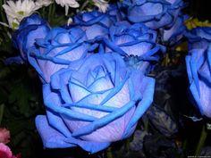 Egrow 50Pcs Blue Rose Seeds Blue Lover Rose Seeds DIY Home Garden Dec Bonsai Pla - US$2.49