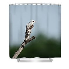 Scissor-tailed Flycatcher Out On A Limb Shower Curtain by Debra Martz