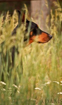 Doberman Pinscher, Rita Kay Adams. Doberman Pinscher dog art portraits, photographs, information and just plain fun. Also see how artist Kline draws his dog art from only words at drawDOGS.com #drawDOGS http://drawdogs.com/product/dog-art/doberman-pinscher-dog-portrait-by-stephen-kline/