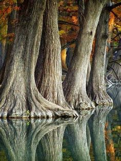 Reflection of cypress trees in the Frio River, Texas, USA|イトスギ(糸杉) Frio River Texas, Beautiful Places, Beautiful Pictures, Trees Beautiful, Nature Pictures, Beautiful Landscapes, Travel Pictures, Cypress Trees, Cedar Trees