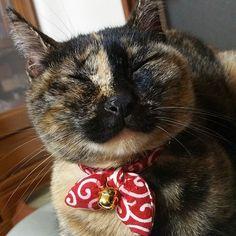 最後は長女猫ちゃんの 福ちゃん~~~! 子猫の時にカラスに目をやられたようで 両目ともに水晶体がなくて目が見えなくて 耳も聴こえてないから恐怖の意味で 怒りんぼうさんなんだろうけど最近やっと 少しだけよしよしできるまでに慣れてくれた🙌💕 かわいいかわいい長女ちゃん。  #猫 #保護猫 #愛猫 #サビ猫 #cat
