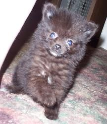 """Found this guy by searching """"Puppy Uglies.""""  Nope, there is nothing ugly about this beautiful pomeranian baby!"""