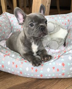 The major breeds of bulldogs are English bulldog, American bulldog, and French bulldog. The bulldog has a broad shoulder which matches with the head. Cute French Bulldog, French Bulldog Puppies, Cute Dogs And Puppies, Baby Dogs, Doggies, Teacup French Bulldogs, Frenchie Puppies, Pet Dogs, Cute Baby Animals