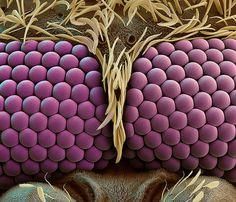 Mosquito Eyes