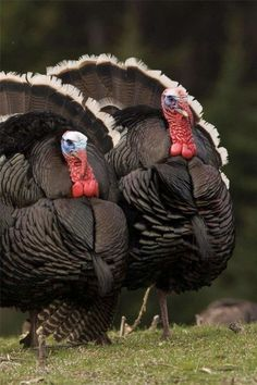 """Turkey Twosome!"""