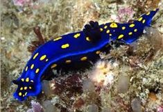 Afbeeldingsresultaat voor sea slug