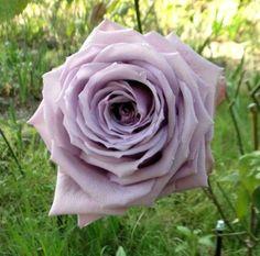 Pacific Blue Rose