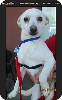 Lomita, CA - Chihuahua/Terrier (Unknown Type, Small) Mix. Meet Archie, a dog for adoption. http://www.adoptapet.com/pet/13056493-lomita-california-chihuahua-mix