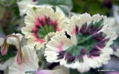 "PERFECT PELARGONIUMS: Wordless Wednesday - ""Silver Magic"" - Coloured lea..."
