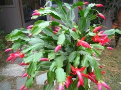 Christmas Cactus/Easter Cactus - Schlumbergera bridgesii: These fun plants bloom in winter and come in fuschia and red. They like bright (not direct) light and a little water and that's about it!