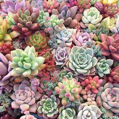Sea of succulents.