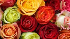 Flowers Rose raznotsvetie buds red orange HD Wallpaper