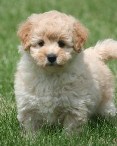 blonde miniature goldendoodle puppy more puppy dogs blonde miniature ...