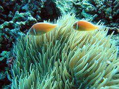 Yellow clownfish (Cebu, Philippines)