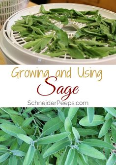 Sage can be used for more than just seasoning the Thanksgiving turkey. It can be used in cough syrup, as a skin toner, in tea, and of course in poultry dishes. Learn how to grow this useful herb in your garden and get started using it today.