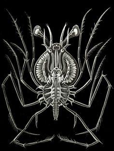 Haeckel - Phyllosoma