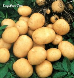 """(Name: True Potato """"Asol"""" (Solanum Tuberosum). We do all the best you receive quality seeds. Our priority it's highest quality organic plant seeds with the lowest price. Organic Seeds, Organic Plants, Organic Vegetables, Planting Potatoes, Cat Grass, Herb Seeds, Home Garden Plants, Farm Gardens, Diet"""