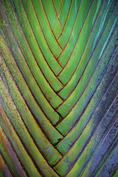 Texture of a palm leaf