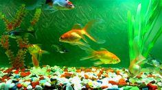 Get free Aquariums Live Wallpaper. Google Playstore Click here to download Apps: https://play.google.com/store/apps/details?id=com.deemsys.aquarium