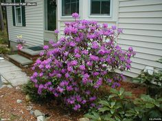 Post one compact allowing a rhododendron bloom pjm browse fall from am. Description from brande-saubion.com. I searched for this on bing.com/images