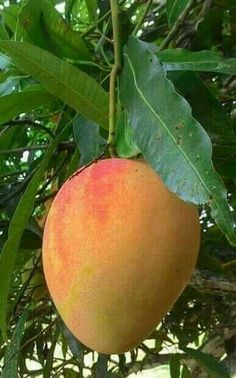 Why Organic Vegetable Seeds Very Important? Mango Plant, Mango Fruit, Mango Tree, Fruit And Veg, Fresh Fruit, Fruit Plants, Fruit Garden, Fruit Trees, Fruits And Vegetables Pictures