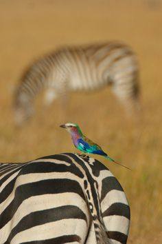 Africa | Lilac Breasted Roller sitting on a Zebra. Rift Valley, Kenya | © Greg McMullin