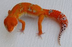 Electric Tangerine Leopard gecko from HISS. Leopard Gecko Care, Leopard Gecko Morphs, Cute Reptiles, Reptiles And Amphibians, Tortoise Food, Sulcata Tortoise, Cute Gecko, Wonder Pets, Paws And Claws