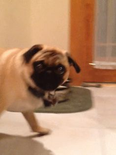 you talkin to me? | Community Post: 17 Reasons We Know Pugs Are Taking Over The World