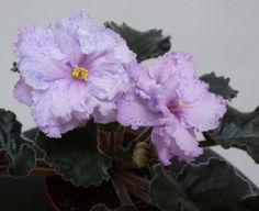African Violet Lyon's Magic Charms