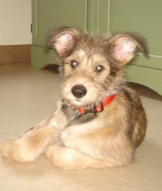 berger picard dog photo | Berger Picard Information and Pictures, Picardy Shepherd