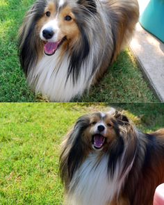 Cookie, my sheltie.
