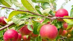 Tips for Growing Fruit Trees organic apple tree Garden Trees, Trees To Plant, Can Dogs Eat Apples, Apple Tree From Seed, Dehydrated Apples, Mcintosh Apples, Ginger Chutney, Growing Raspberries, Growing Fruit Trees