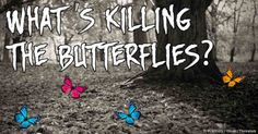 The monarch butterflies are about to go extinct because of GM crops and agricultural chemicals that destroy milkweeds, the monarch's sole food.
