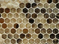 How to Inspect a Honey Bee Hive: How to Inspect a Beehive - What Larvae Look Like