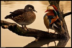 Mandarin Ducks - almost extinct due to over hunting for delicacy only 1,000 pairs in China and Russia.  Japan has 3,000 pairs.