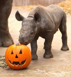 Baby Boo get in the #Halloween Spirit! via Chester Zoo #HappyAlert