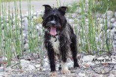 MANNIE Boston Terrier Mix: An adoptable dog in Warsaw, IN