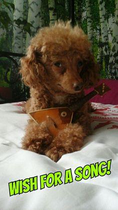 Wish for a song!      (tags: apricot fawn cute miniature poodle dog Leo Leonardo balalaika instrument music)