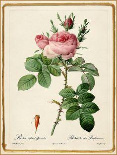 "Pierre-Joseph Redouté  ""Les Roses - Rosa bifera officinalis"" 1819-24 | da Plum leaves"